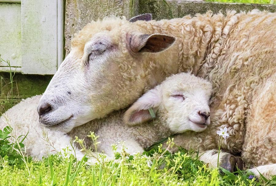 mamas-lamb-rachel-morrison.jpg
